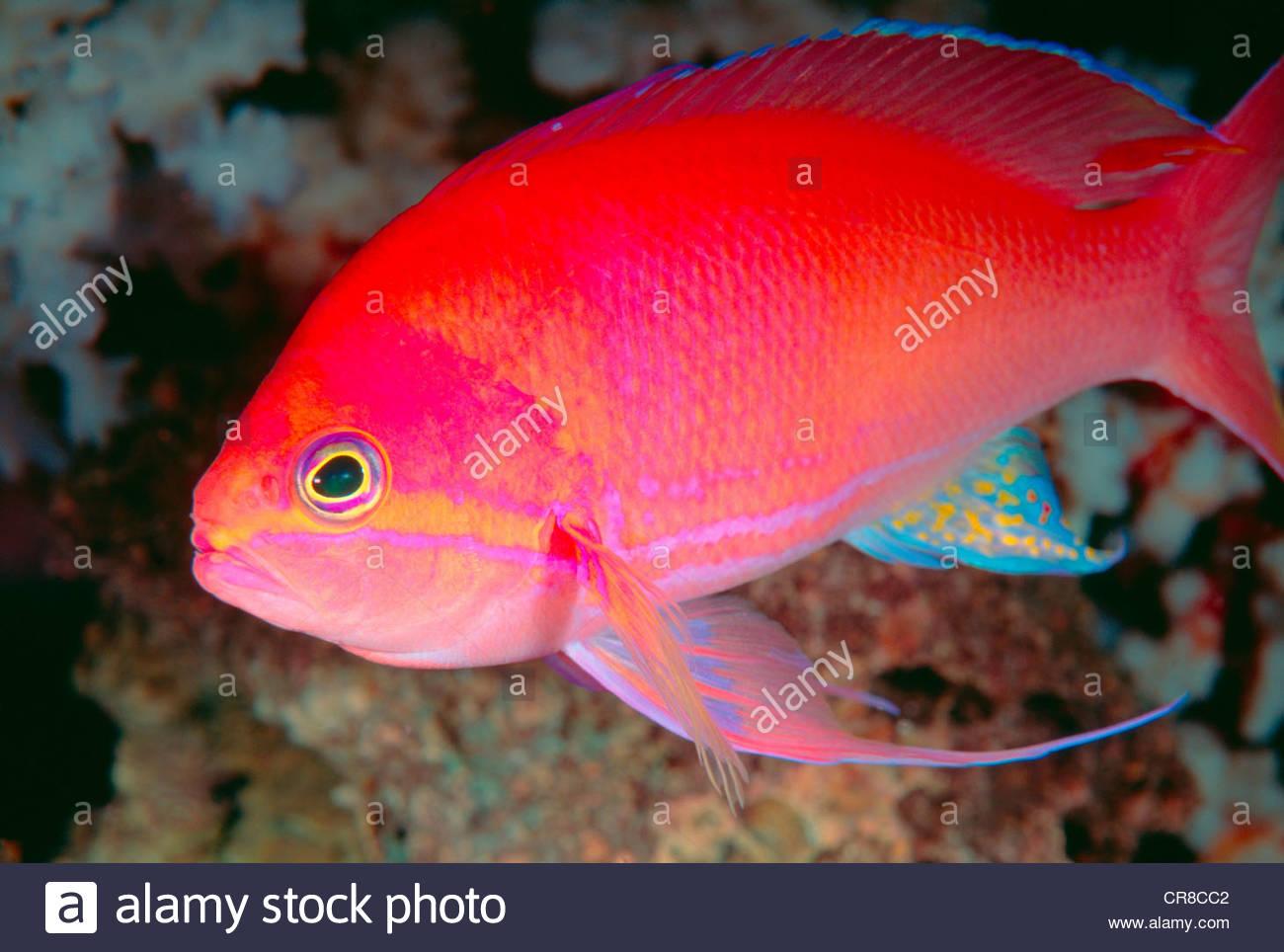 Close Up Of A Bright Tropical Fish Stock Photo Royalty