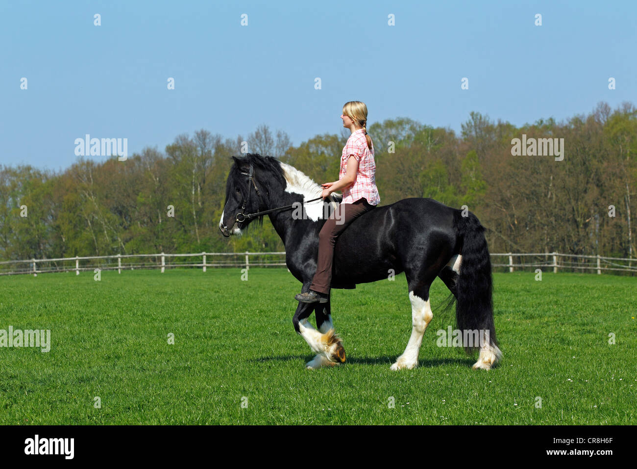 Young woman riding a Gypsy Vanner horse or Irish tinker ...
