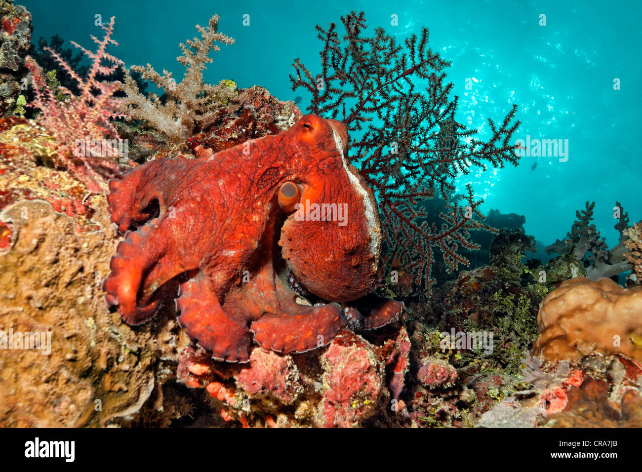 Octopus (Octopus vulgaris), red, sitting on coral reef ...
