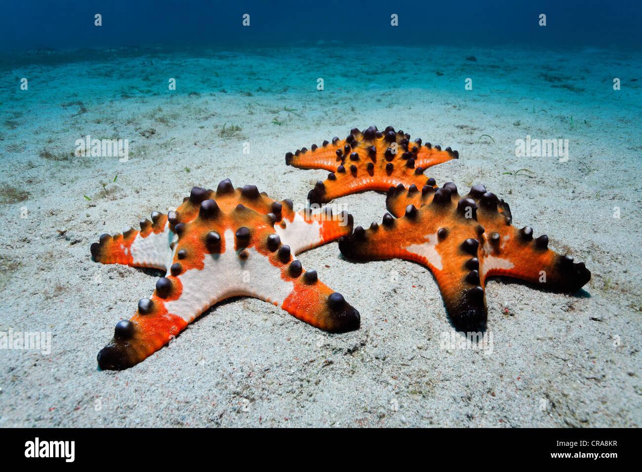 Chocolate Chip Starfish (Protoreaster nodosus) gathered on a sandy ...