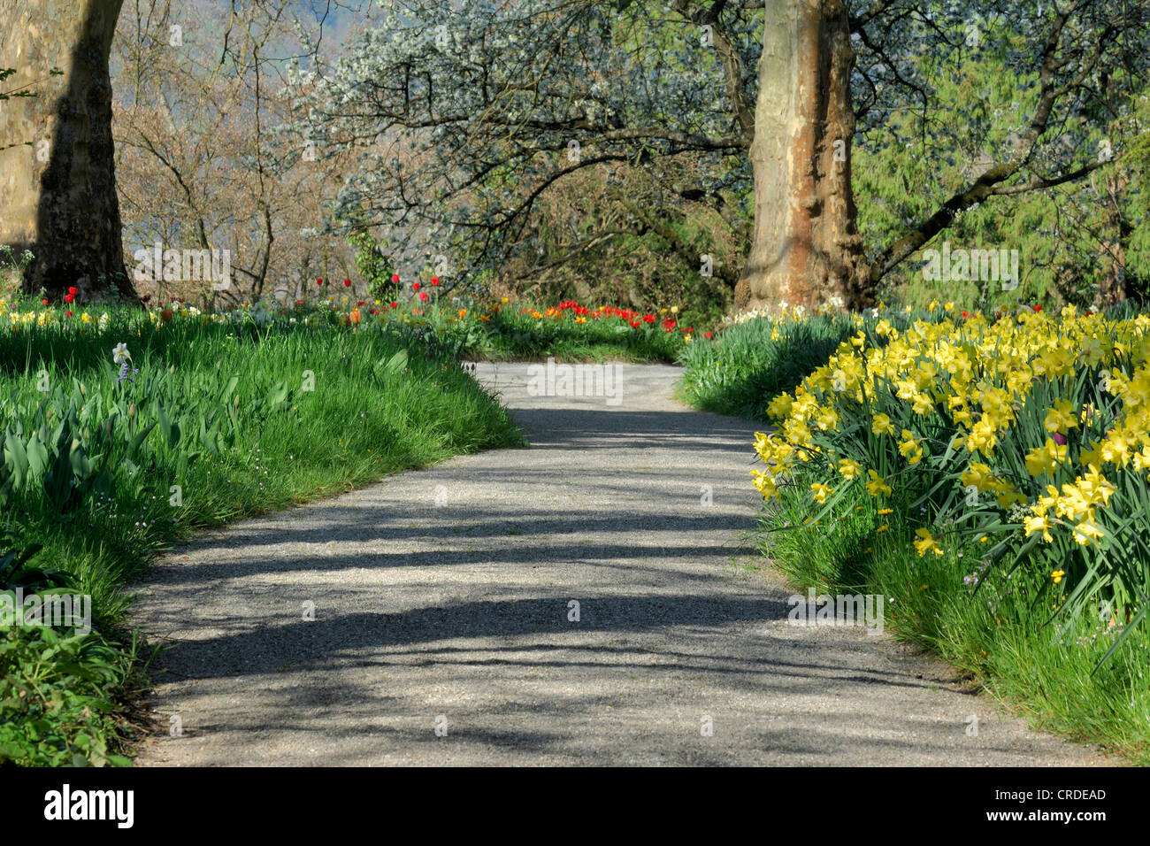 common daffodil narcissus pseudonarcissus tarred path between common daffodil narcissus pseudonarcissus tarred path between blooming narcissus and tulips baden wuerttemberg lake constance
