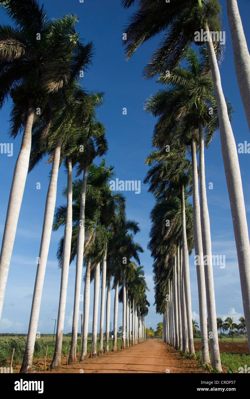 Royal palm (Roystonea regia), palm tree avenue near ...