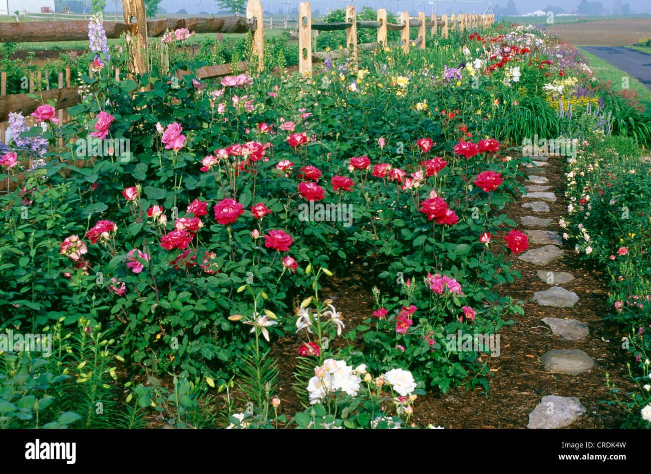 Small Rose Garden With Hybrid Tea Rose Love Floribunda