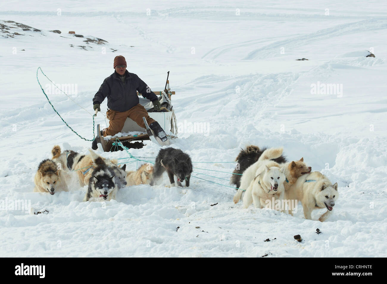 greenland dog canis lupus f familiaris inuit riding a dog
