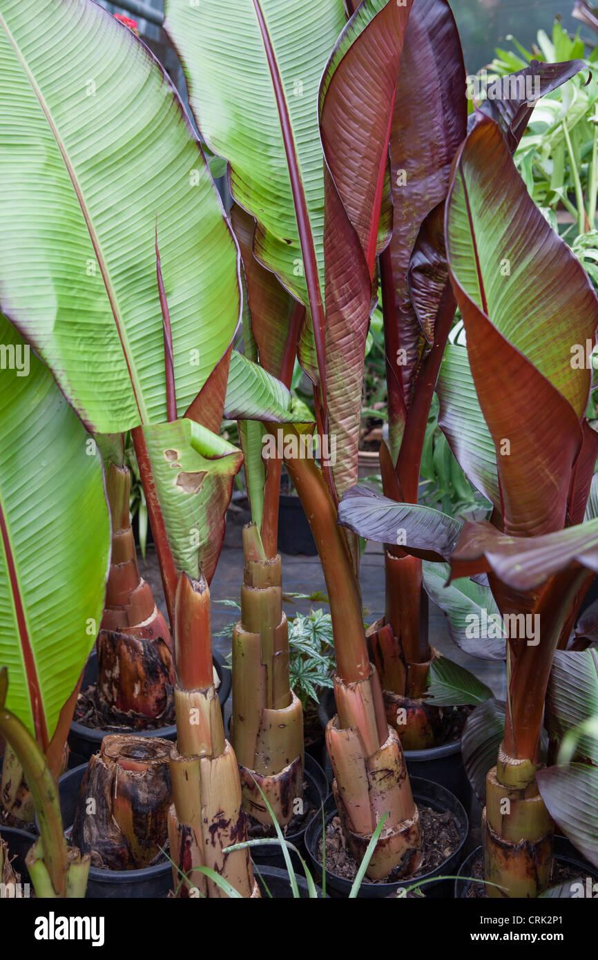 Ensete Ventricosum 39 Maurelii 39 Banana Plant In Storage In A