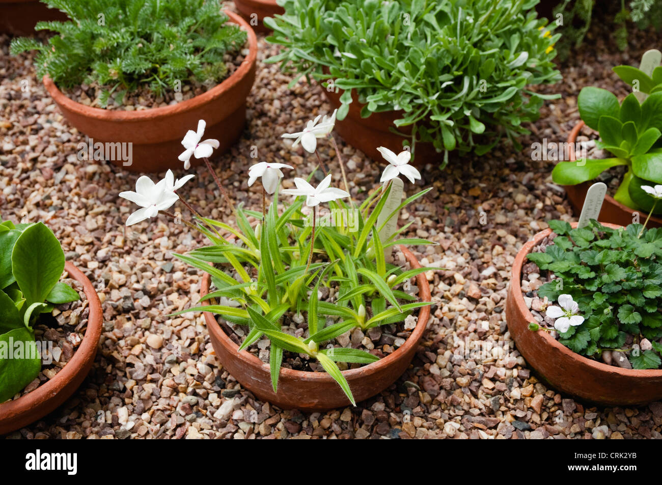 a variety of alpine plants grown in pots and inset into gravel grown stock photo royalty free
