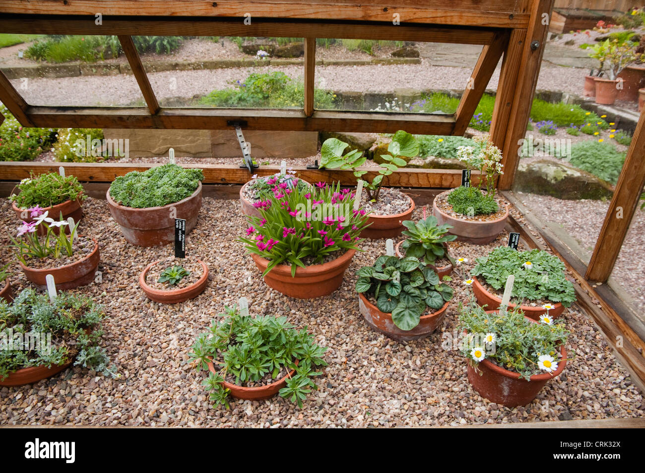 a variety of alpine plants growing in pots on gravel covered staging stock photo royalty free