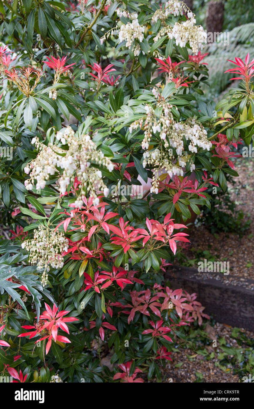pieris 39 forest flame 39 lily of the valley shrub stock photo. Black Bedroom Furniture Sets. Home Design Ideas