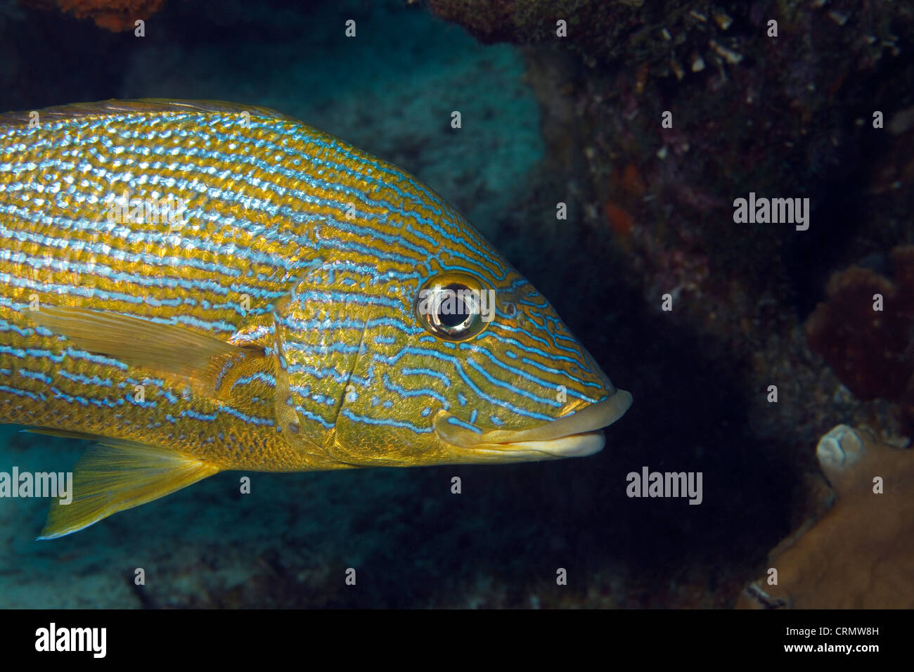 Grunt a tropical reef fish in the caribbean sea around for Caribbean reef fish
