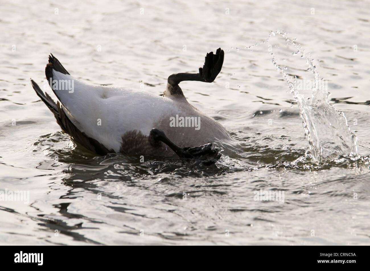 canada goose stock price