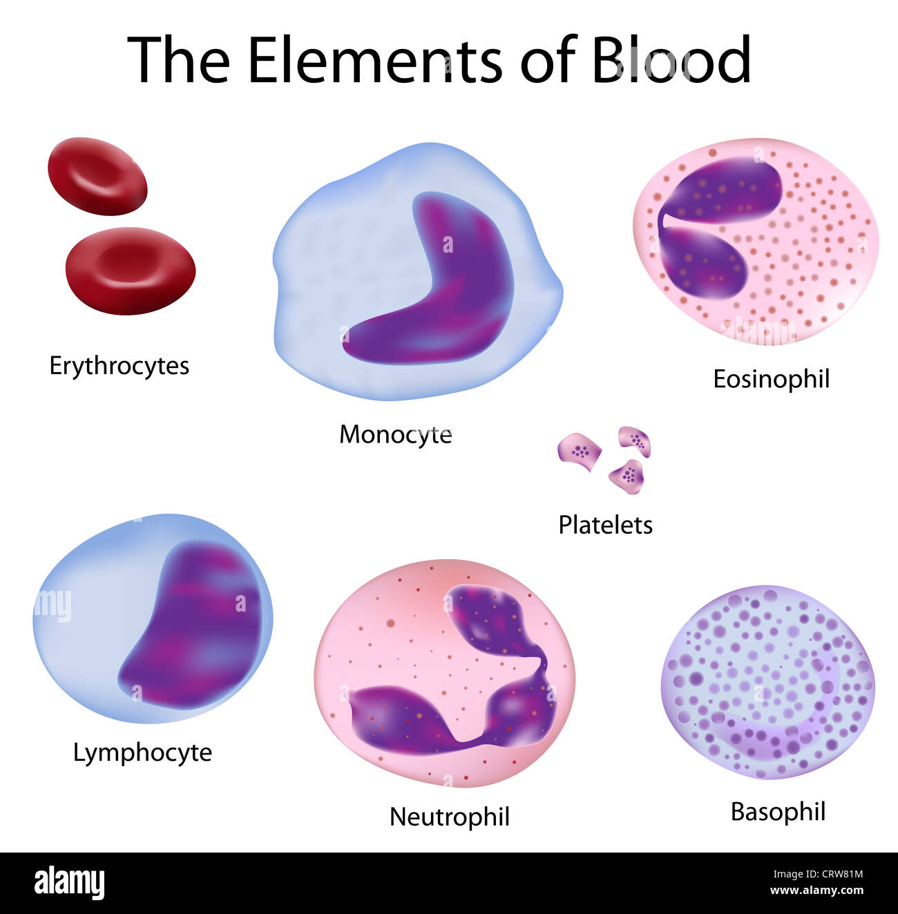 The cells of human blood : red blood cells and different white ...