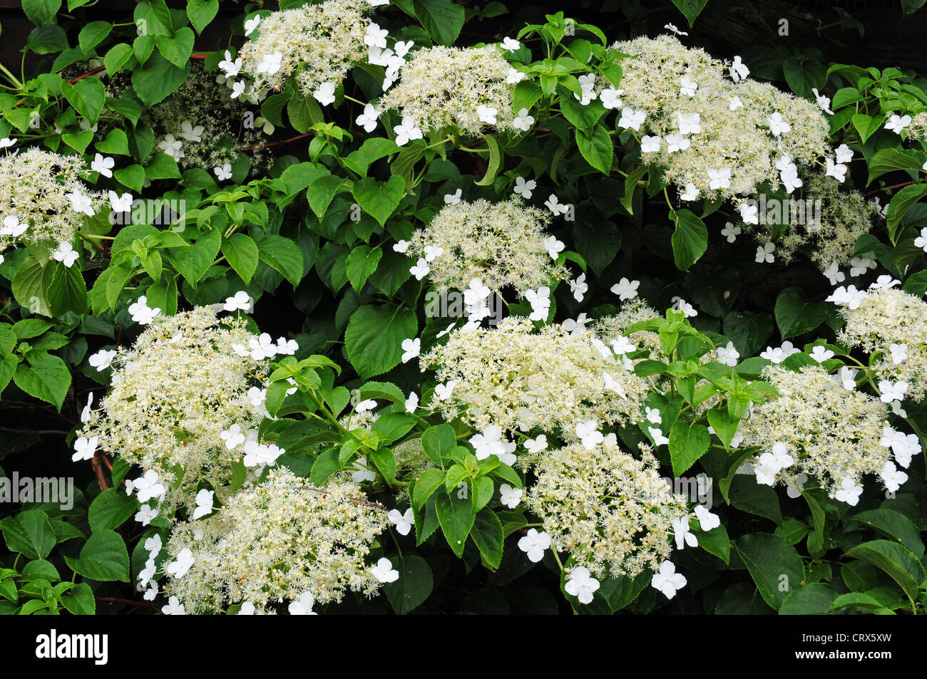 flowers of climbing hydrangea hydrangea petiolaris stock. Black Bedroom Furniture Sets. Home Design Ideas