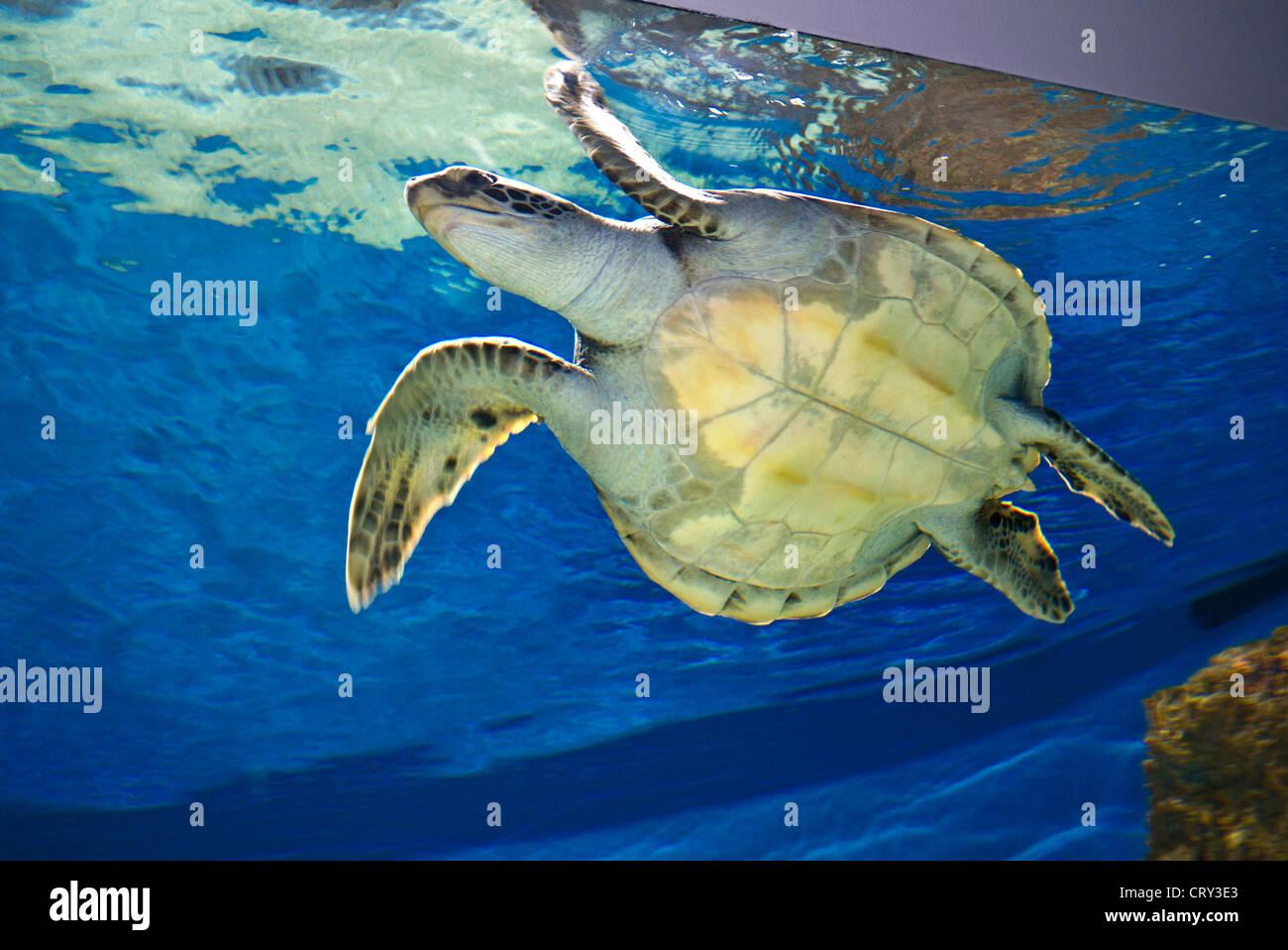 green sea turtle an endangered species in monterey bay aquarium