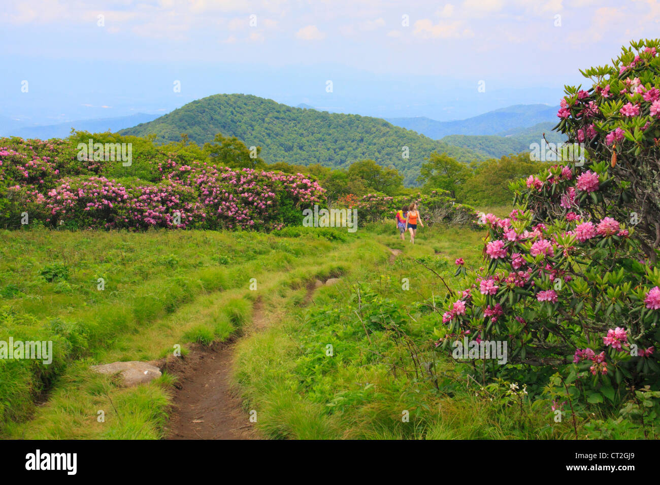 Wild Rhododendron Craggy Gardens Trail Craggy Gardens Blue Ridge Stock Photo Royalty Free