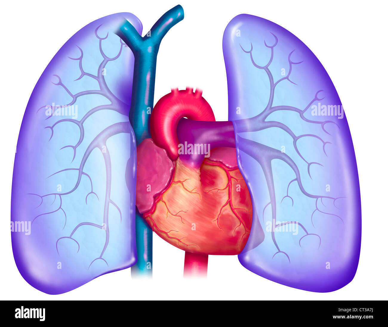 pulmonary circulation drawing stock photo royalty free