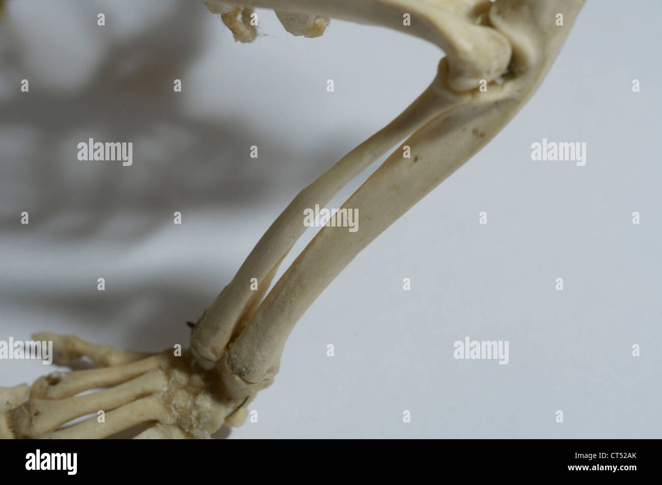 Hedgehog Skeleton