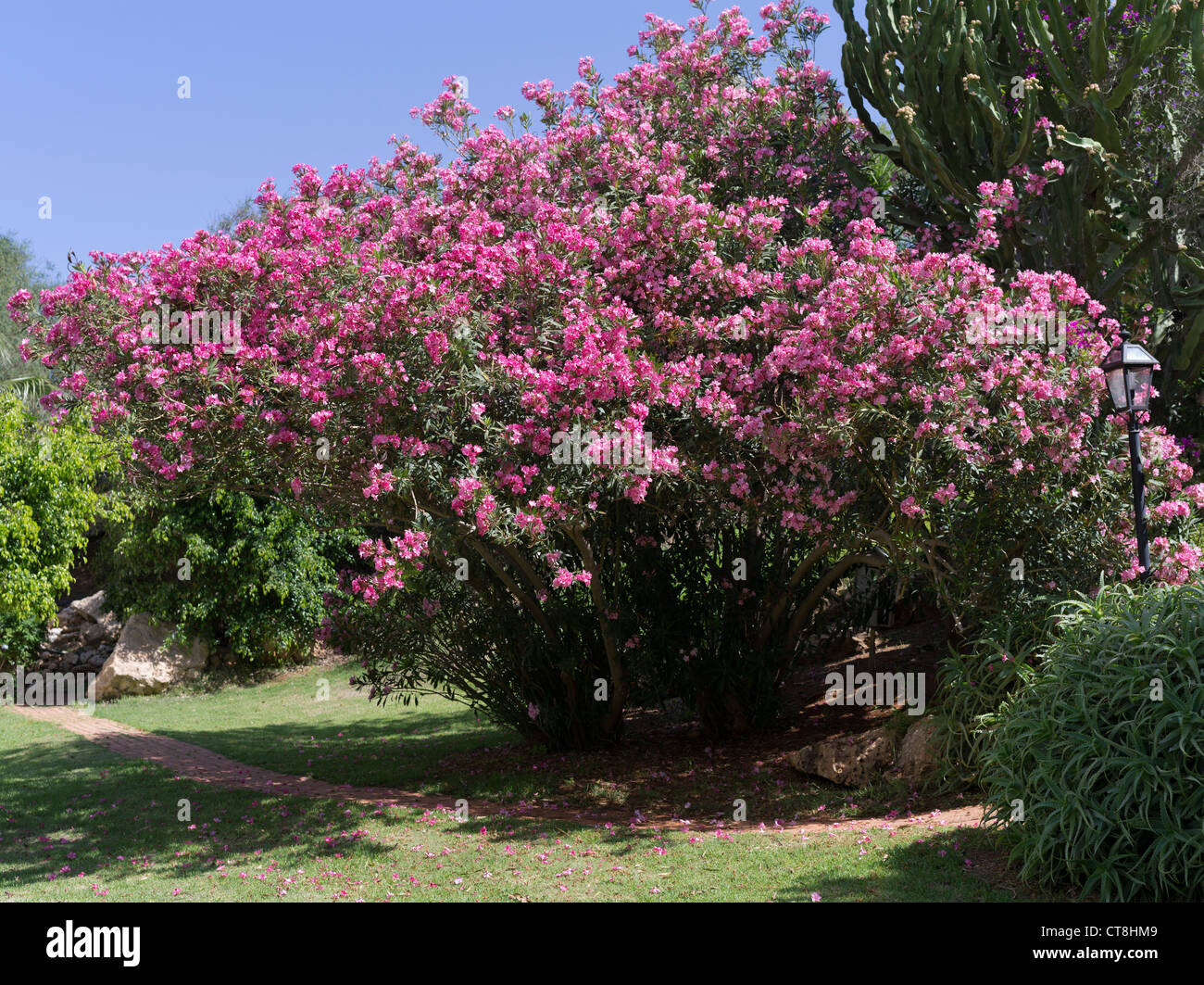 dh flora cyprus pink flowering nerium oleander bush stock photo 49361993 alamy. Black Bedroom Furniture Sets. Home Design Ideas