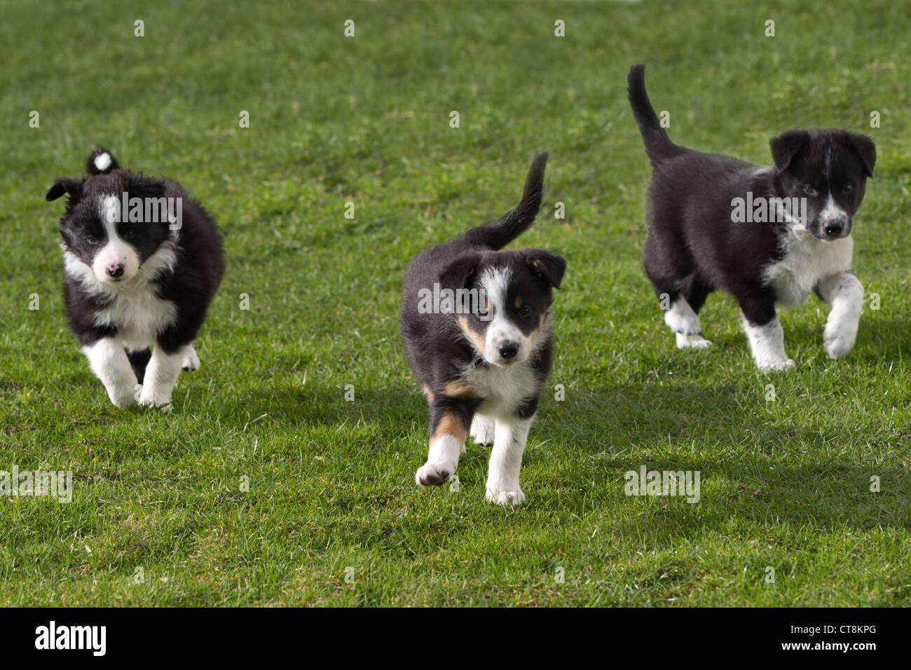 Border collie puppies black  white puppies Stock Photo Royalty