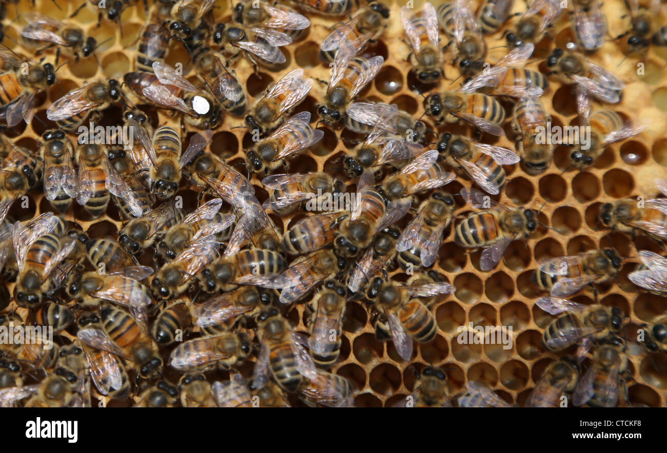 queen bee marked with white on a frame in a hive colour of mark