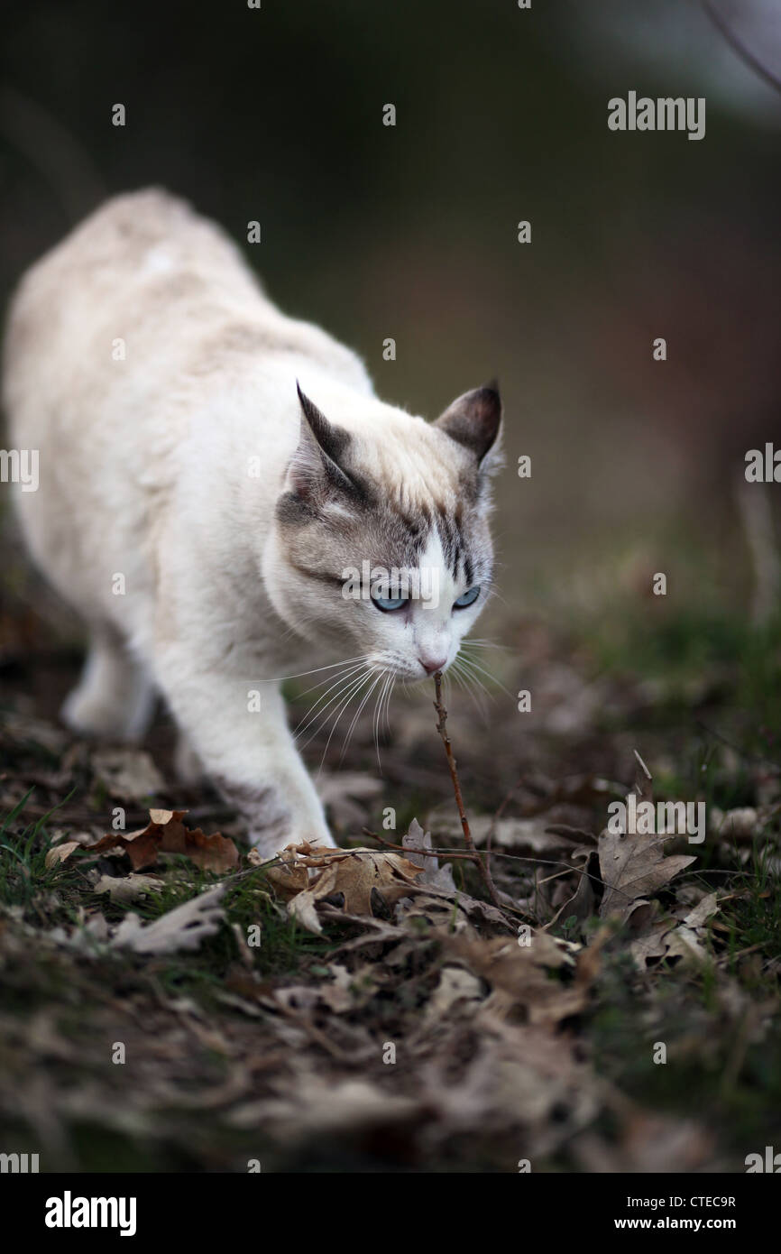 A white and grey domestic cat with blue eyes in the woods smelling