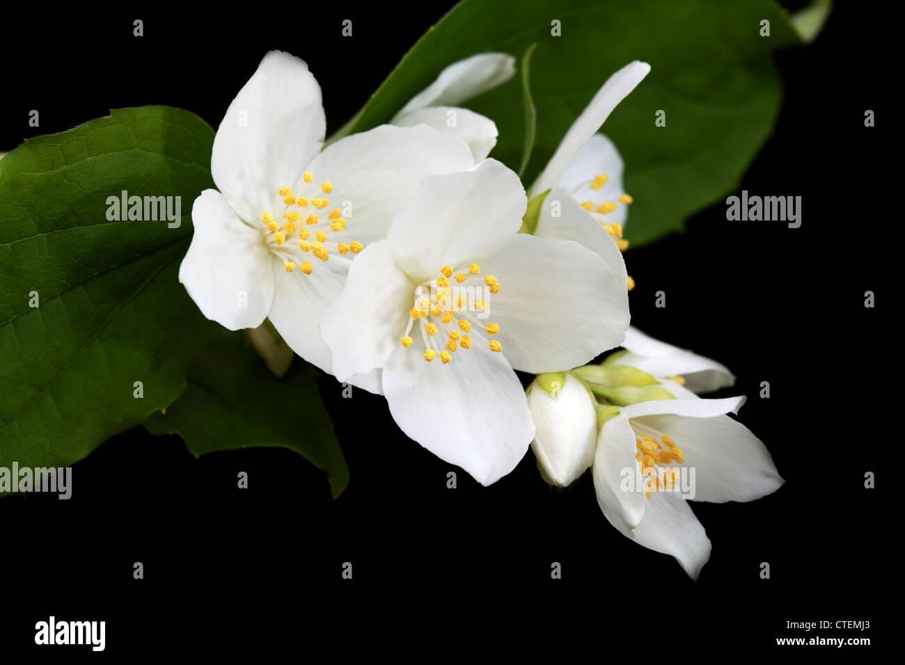 beautiful jasmine flowers on black background Stock Photo Royalty