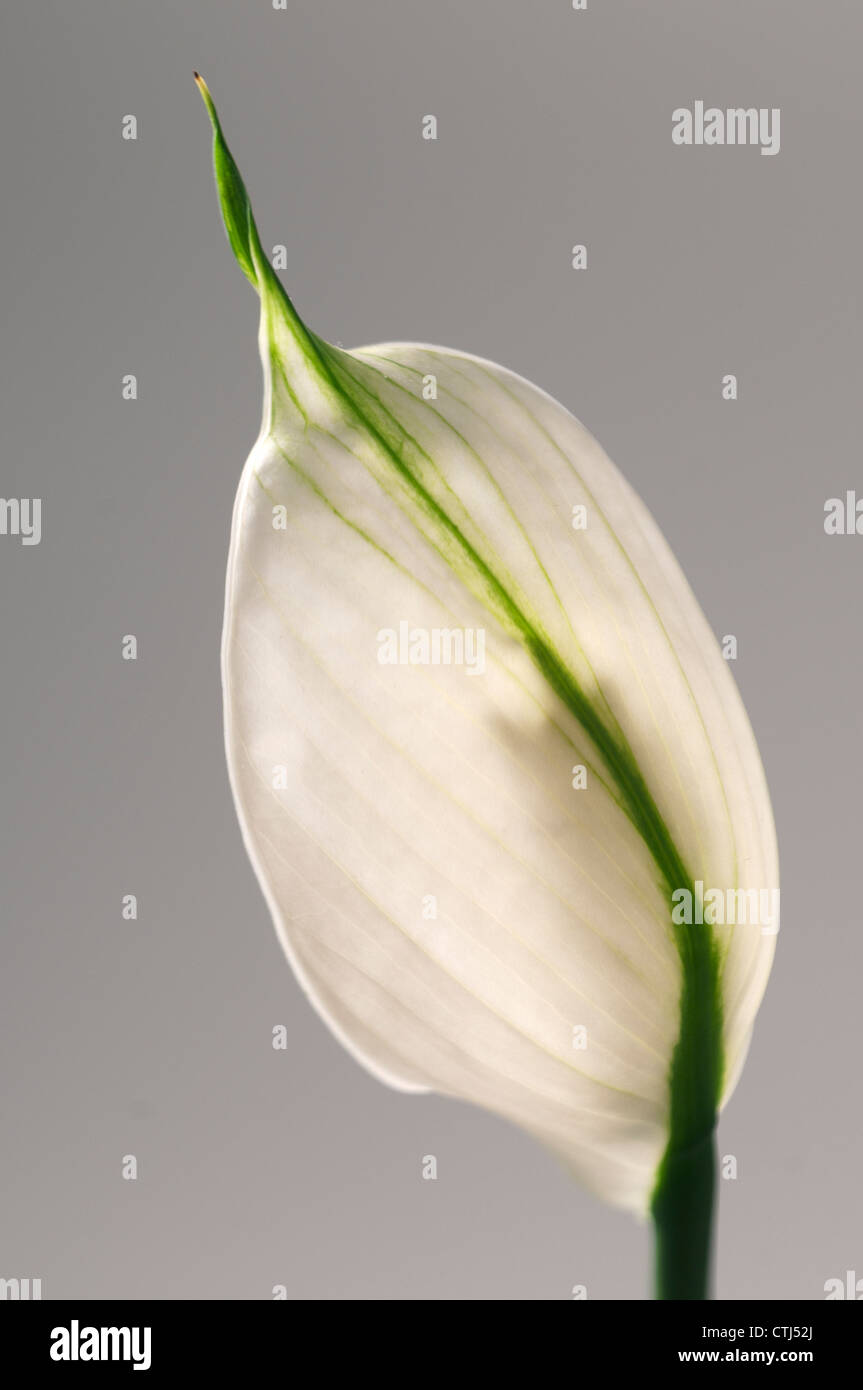 100 peace lily flower 5 low maintenance plants for your peace lily flower dhlflorist Image collections