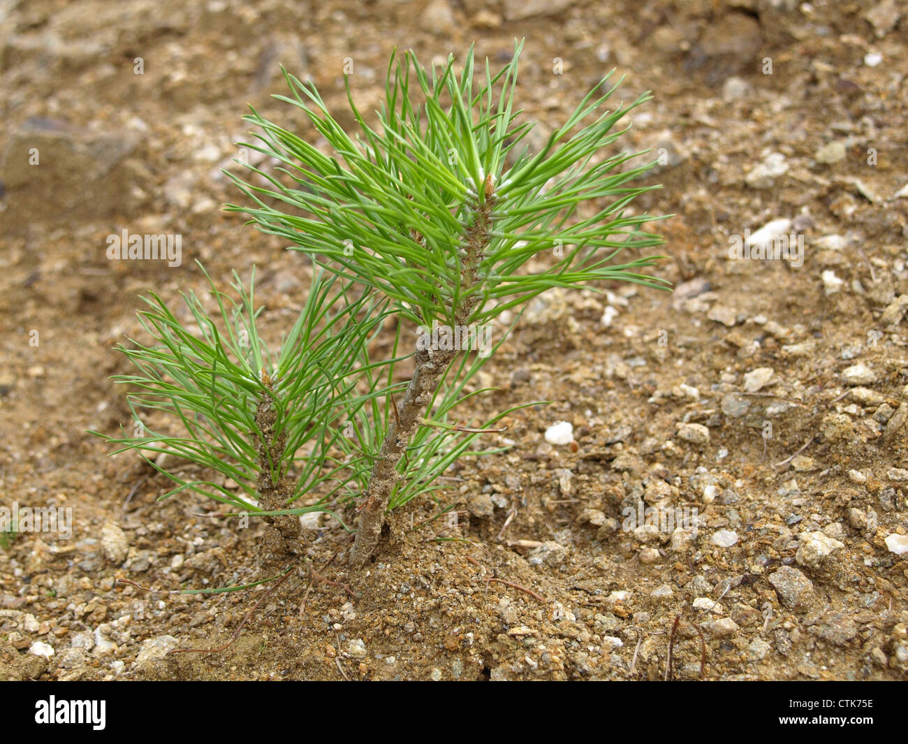 young pine pinus junge kiefer stock photo royalty free image 49595210 alamy. Black Bedroom Furniture Sets. Home Design Ideas