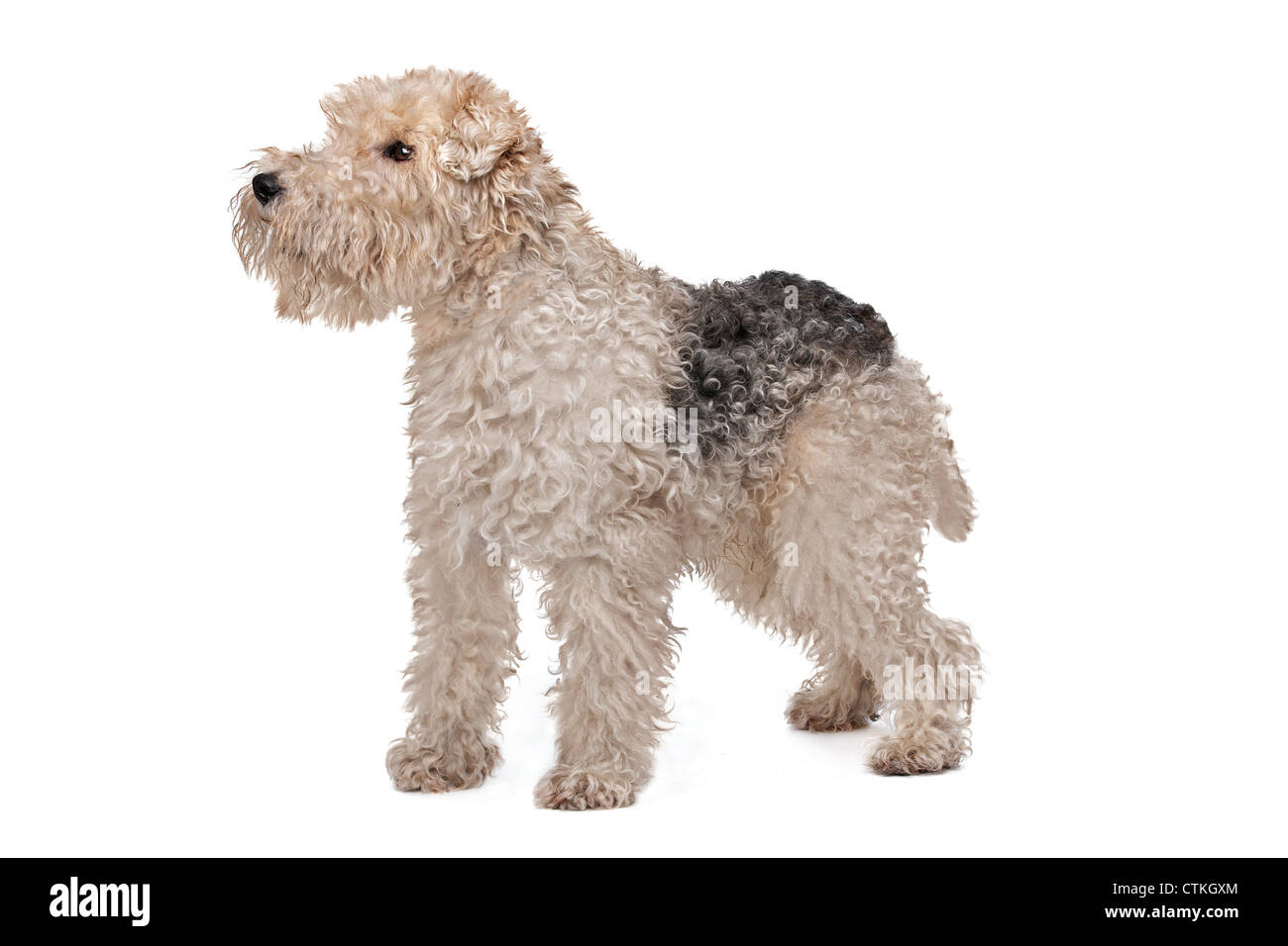 Wire fox terrier in front of a white background Stock Photo, Royalty ...