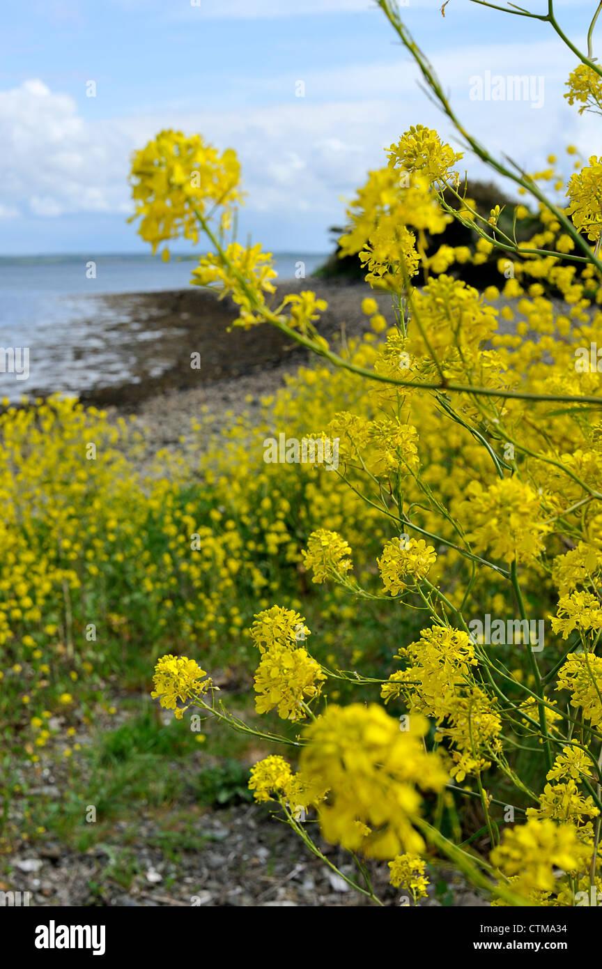 Yellow flowers on a beach scattery island ireland stock photo yellow flowers on a beach scattery island ireland mightylinksfo Images