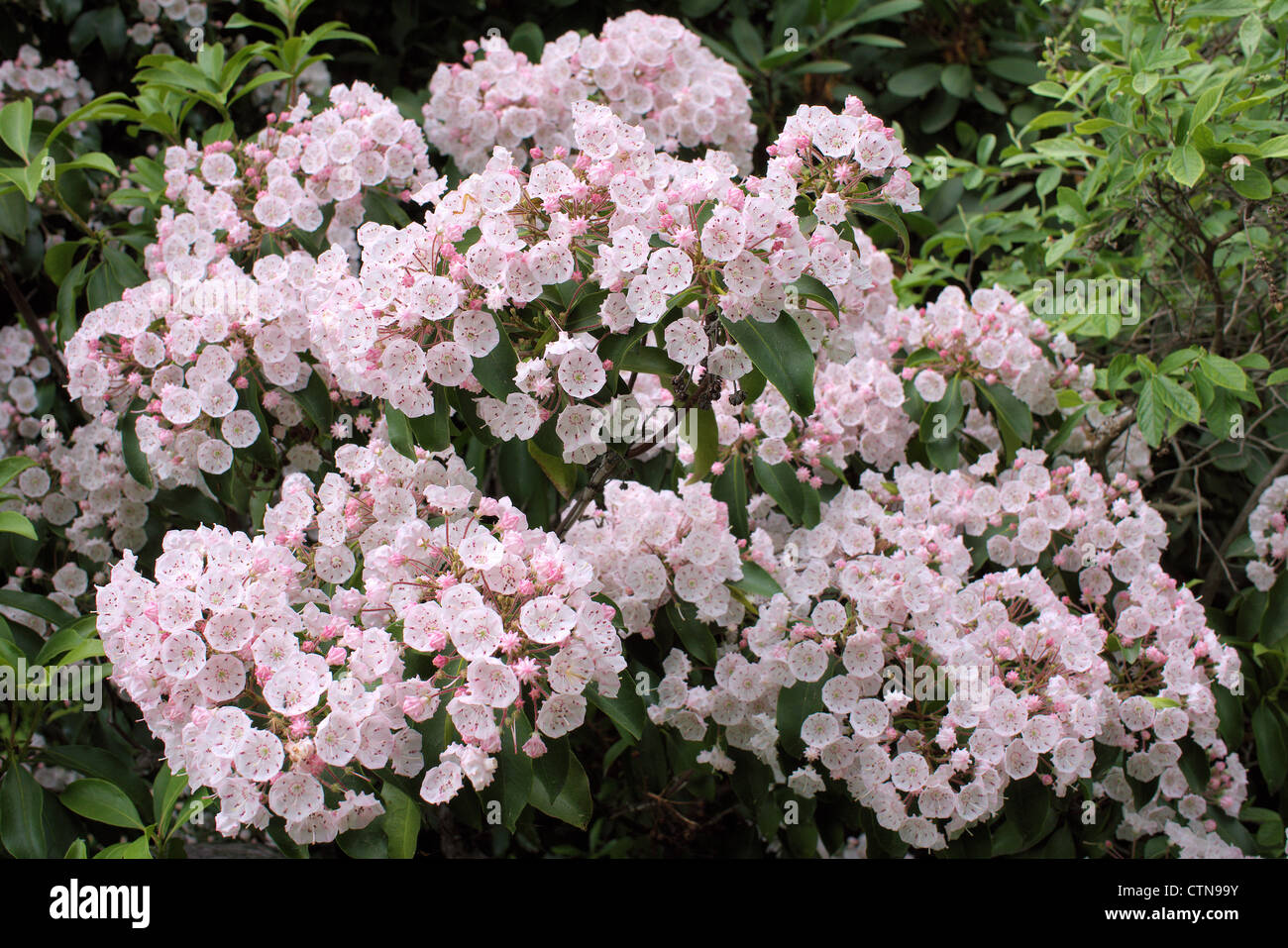 Mountain Laurel Pink Blossom Kalmia Latifolia  Stock Image