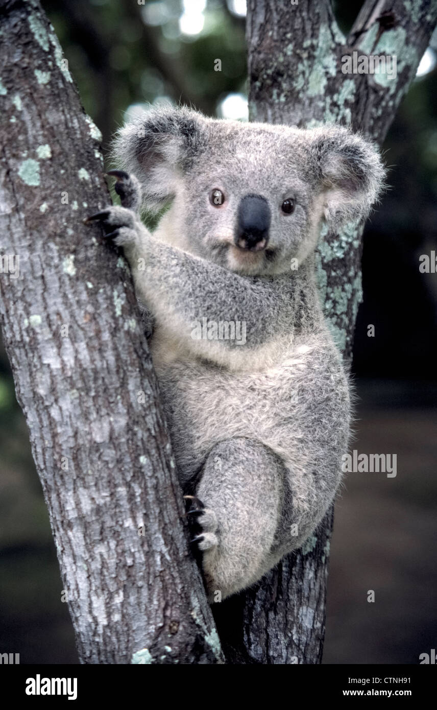 the big soulful eyes of a koala stare at visitors in the lone pine