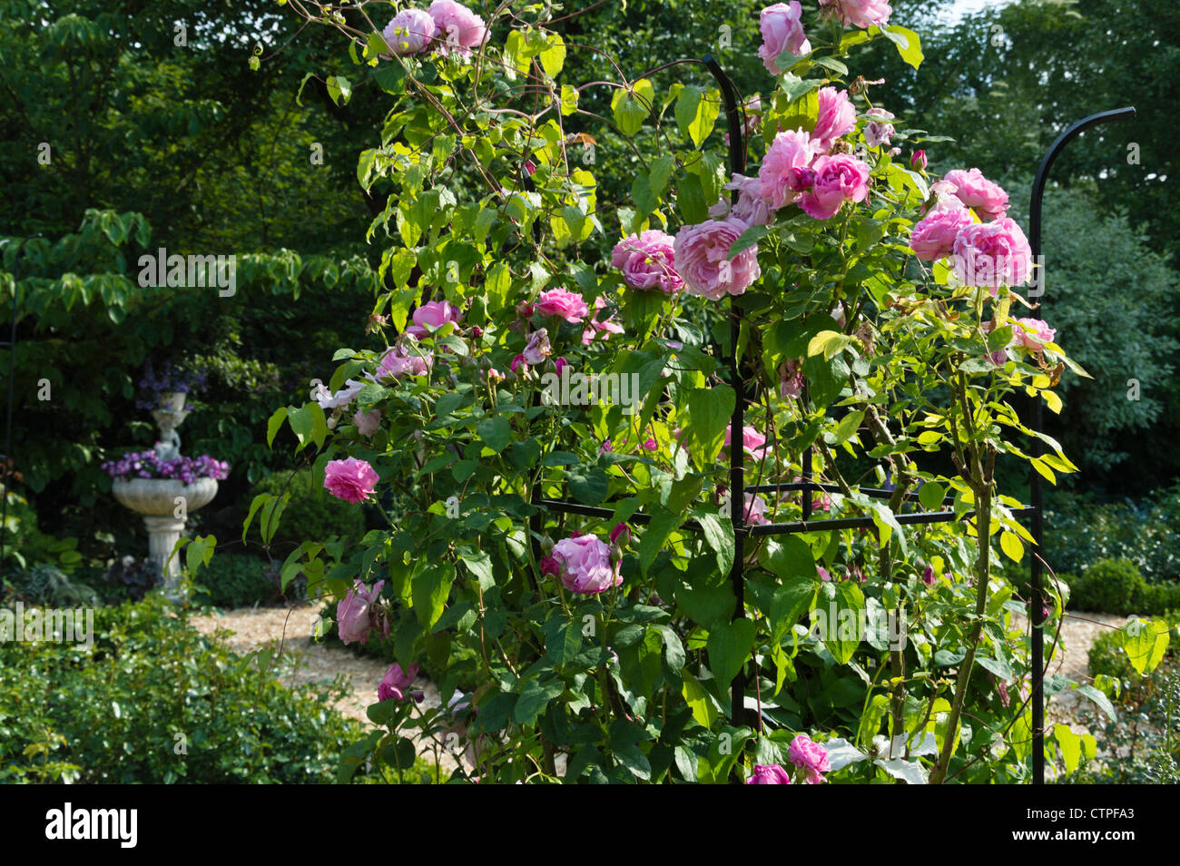 English Rose Rosa Gertrude Jekyll With Trellis In A Rose Garden Stock Photo Royalty Free