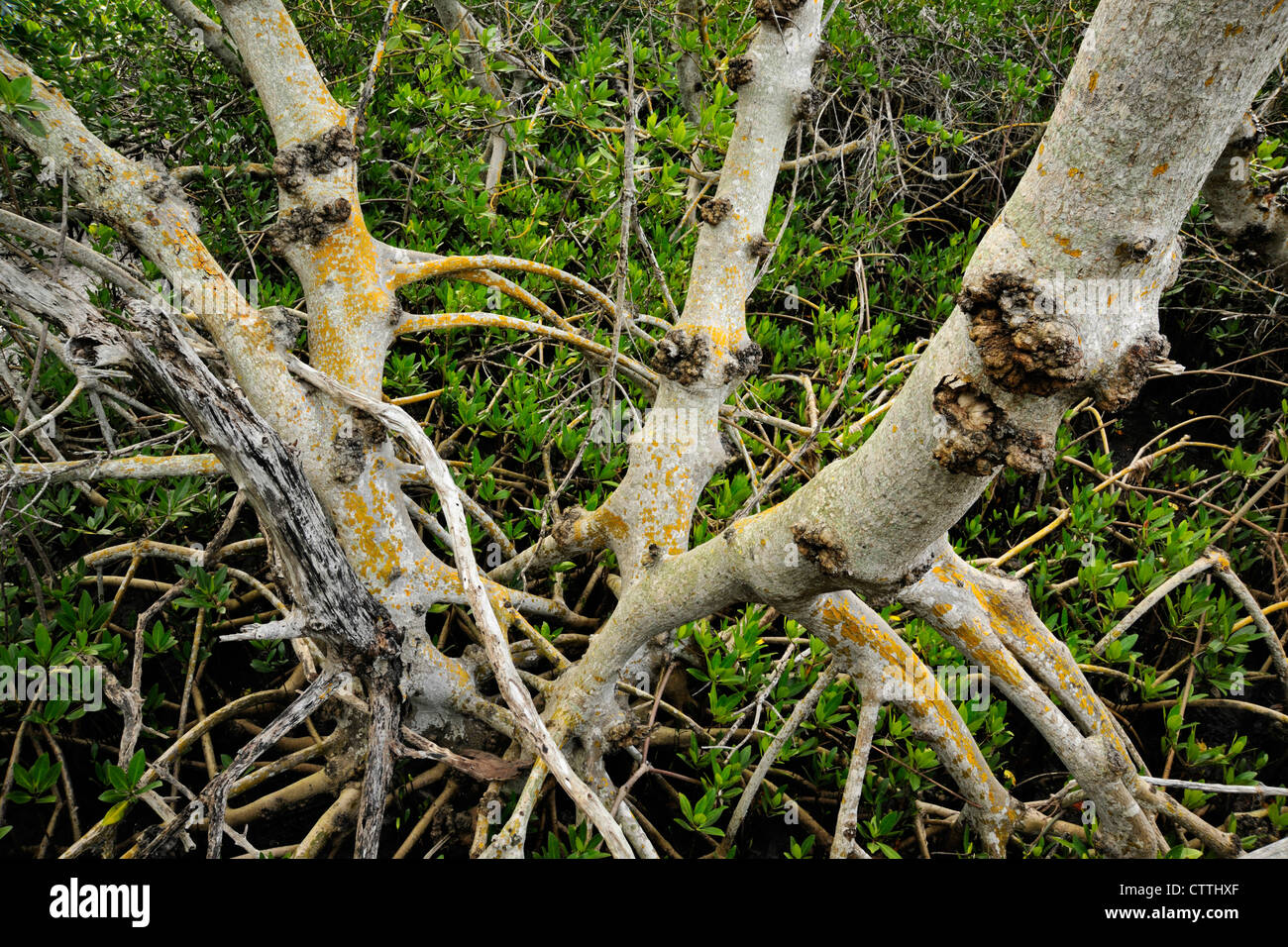 Red mangrove (Rhizophora mangle) stems and roots, Ding Darling NWR ...