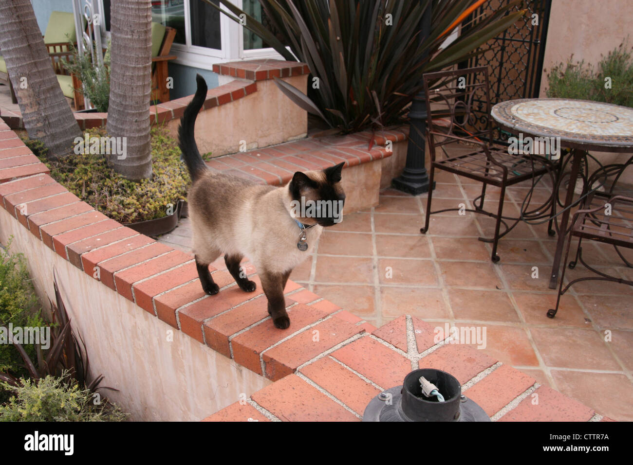 This shows a chocolate-point Siamese cat standing on a brick and ...