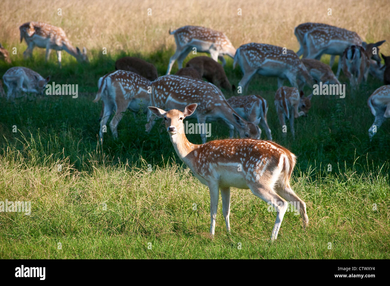 Fallow Deer Home Park Hampton Court Surrey England UK