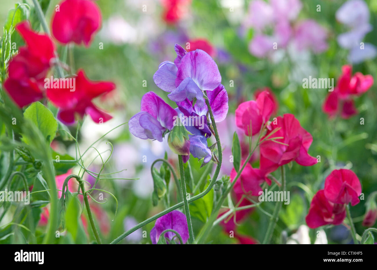 colourful sweet pea flowers in english garden Stock Royalty Free Image