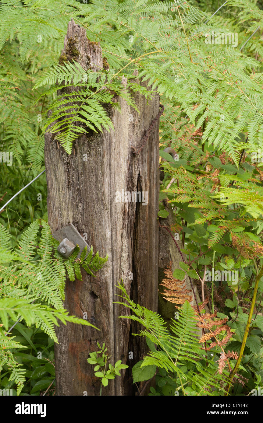 stock photo old wooden fence post rotting in woodland setting with ferns overgrowing
