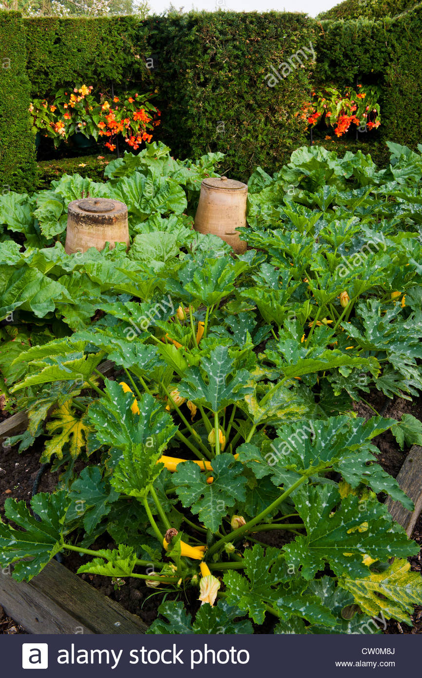 Kitchen Vegetable Garden Kitchen Vegetable Garden Raised Beds Golden Yellow Courgette Atena