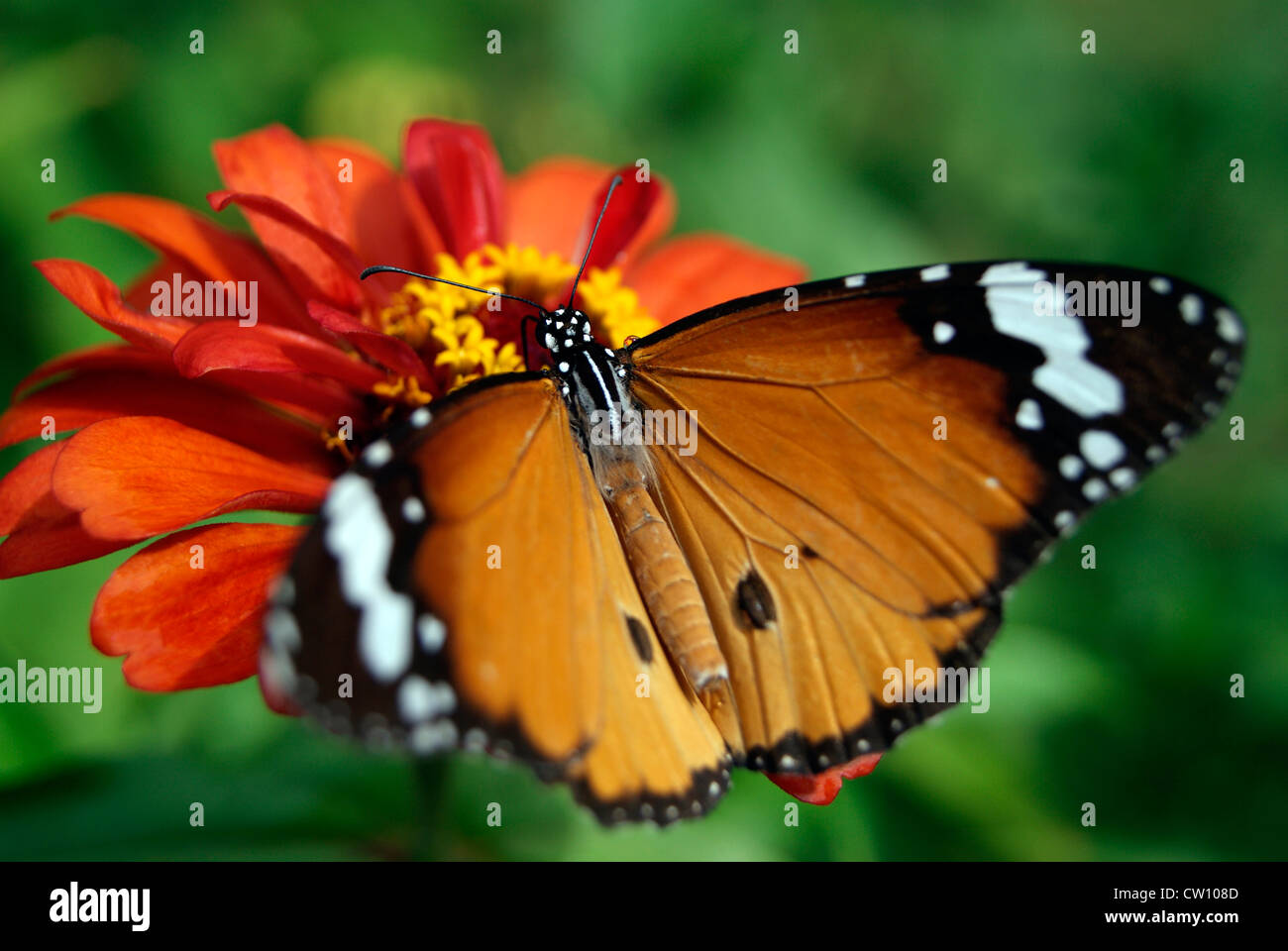 butterfly flower sitting and honey common striped tiger