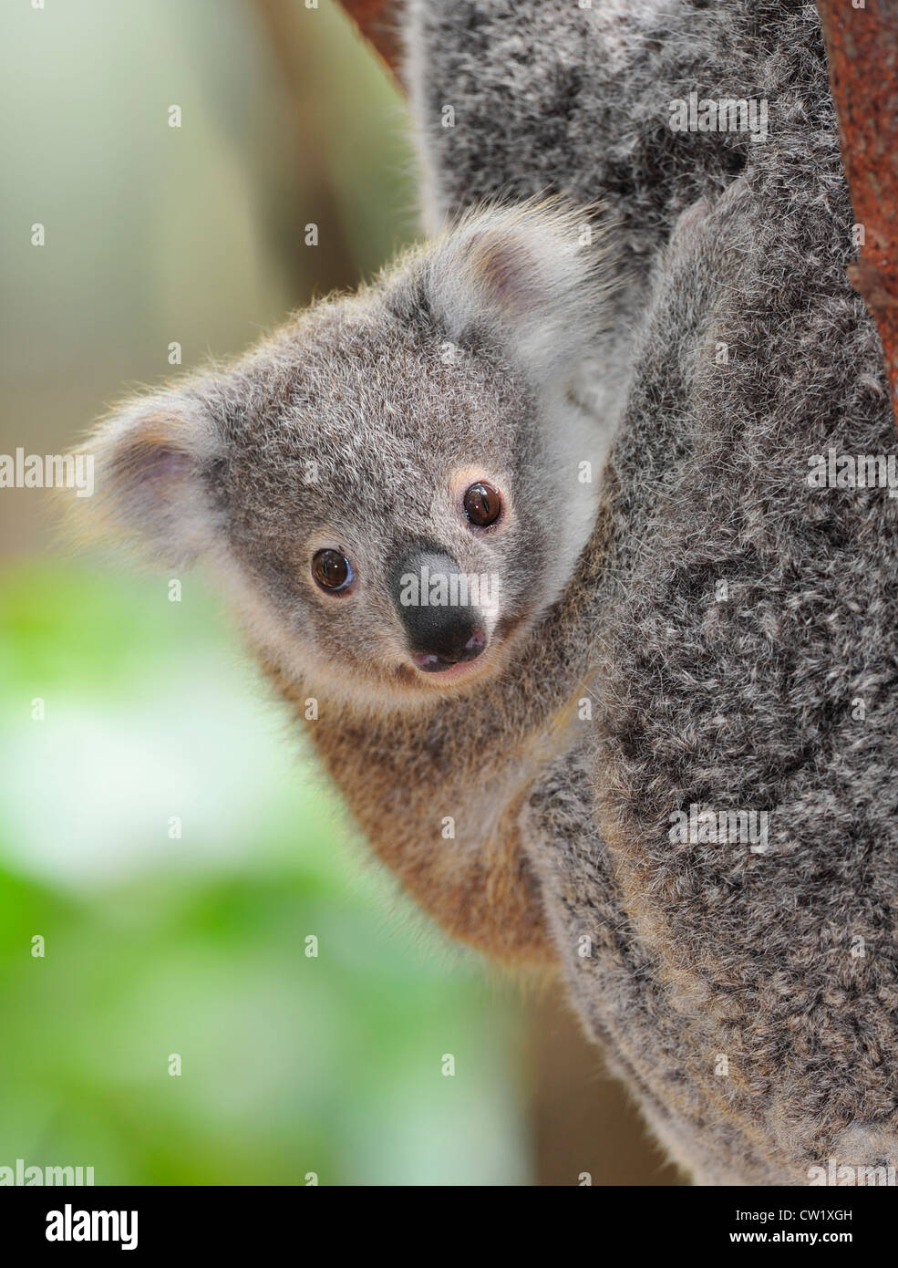 koala bear joey / baby hanging onto its mothers fur in ...