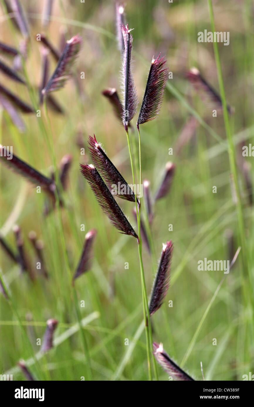 Blue dune lyme grass - Blue Grama Grass Bouteloua Gracilis Poaceae Native To The North American Prairies