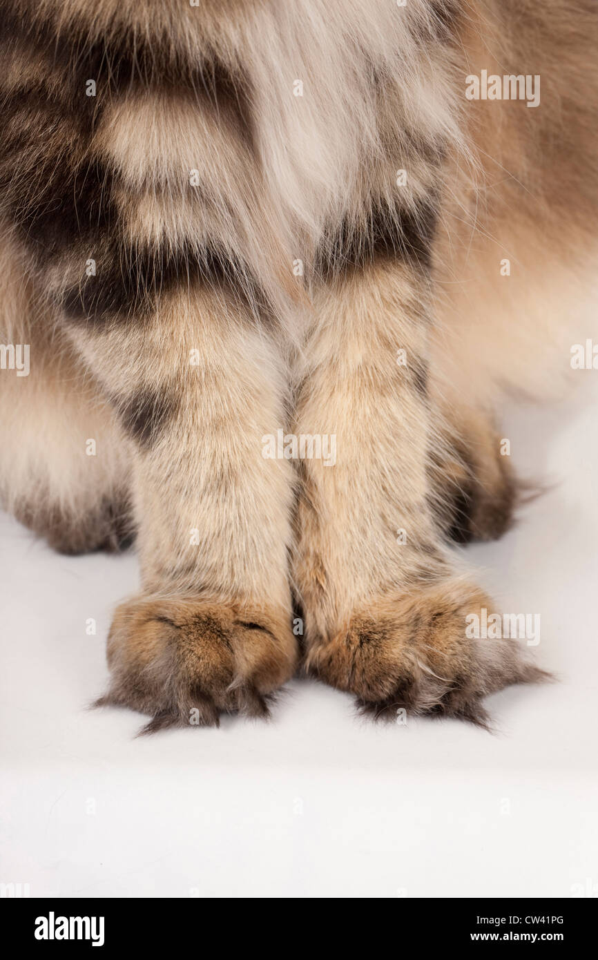 Maine coon paw fur