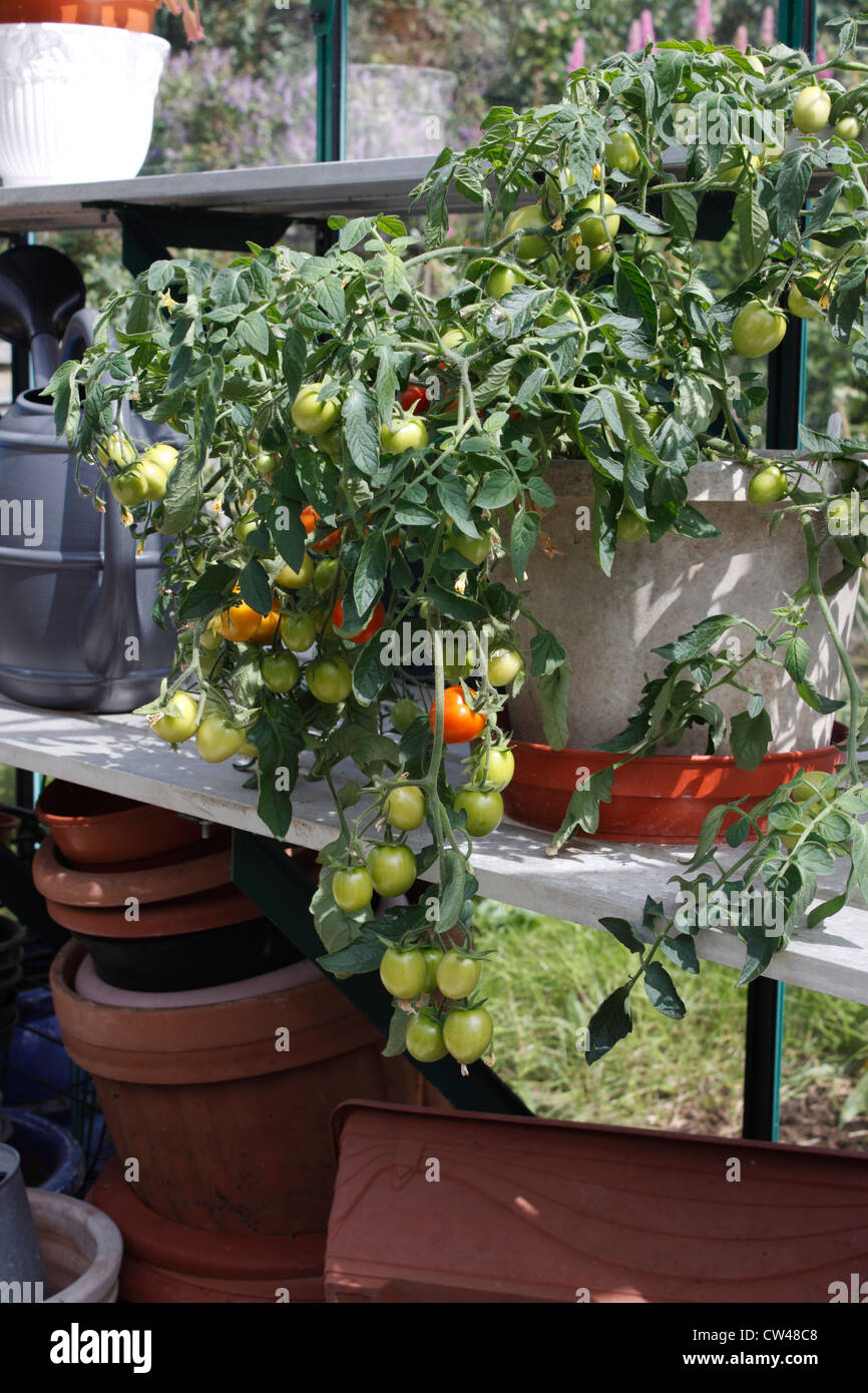 Growing cherry tomatoes in pots - Stock Photo Trailing Tomato Maskotka Pot Grown