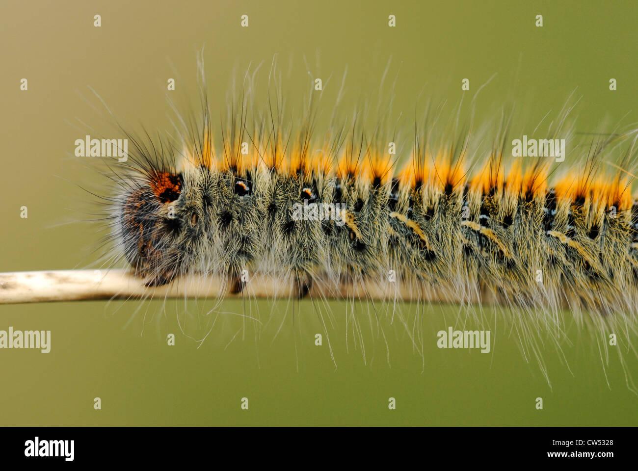 hairy caterpillar stock photos u0026 hairy caterpillar stock images