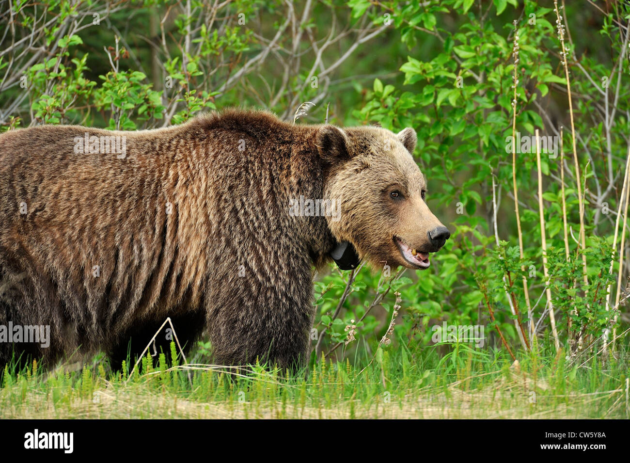 Grizzly bear side profile