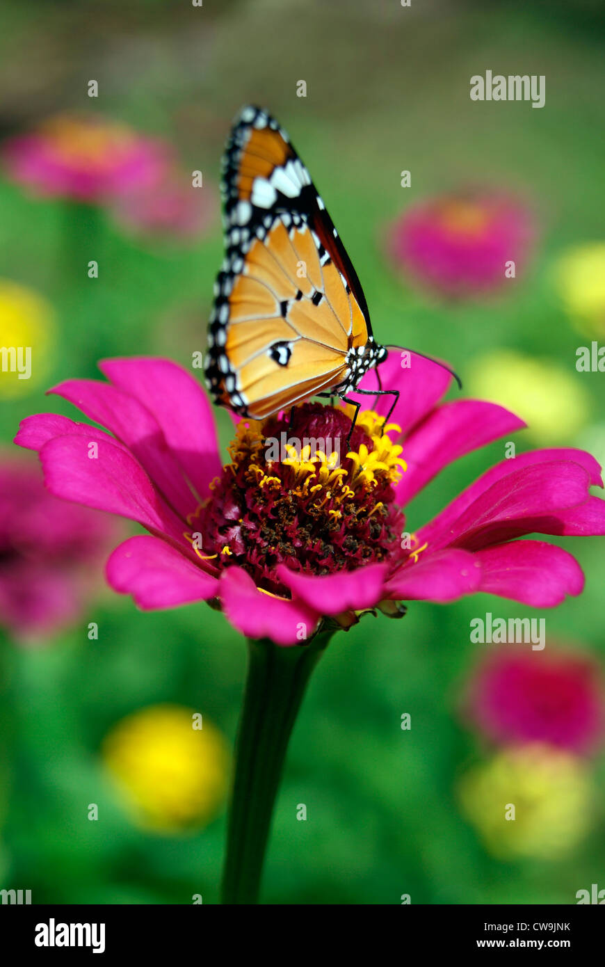 Butterfly Sitting And Sucking Honey From Violet Color Dahlia Flower Among  Lot Of Flowers In Garden Closeup View Kerala,India