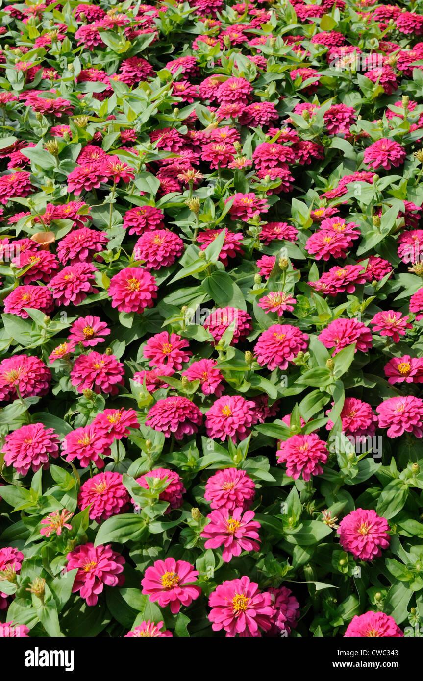 Beau Flower Garden Full Of Pink Zinnia Flowers, King Rama IX Park ,bangkok,  Thailand