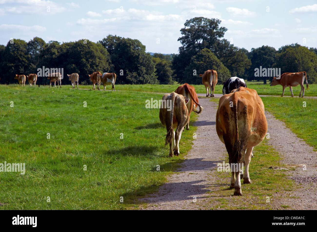 cows backside stock photos u0026 cows backside stock images alamy