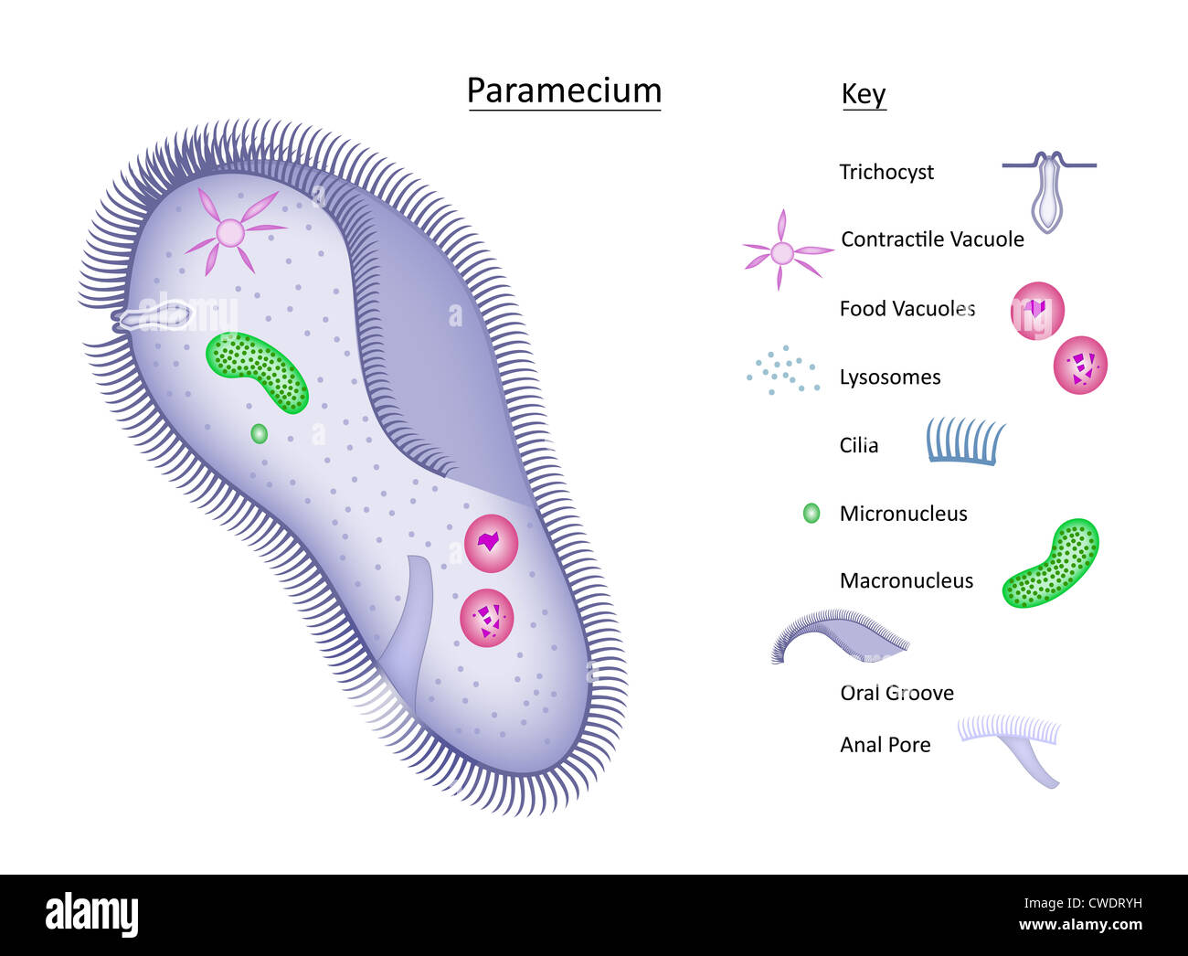 Colorful vector illustration of a single celled paramecium with colorful vector illustration of a single celled paramecium with structures clearly labeled in separate key all layers labeled pooptronica Gallery