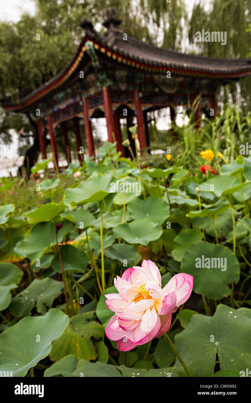 Lotus flowers in front of a chinese style pavilion at beihai park in lotus flowers in front of a chinese style pavilion at beihai park in beijing china izmirmasajfo